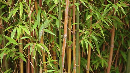 "Bamboo: ""Watch it, manage it and if in doubt, remove it."" (Credit: Thinkstock/PA)"