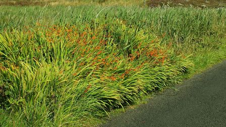 Leave montbretia alone it will spread like wildfire (Credit: AECOM/PA)