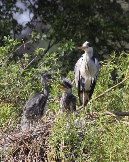 Sustainable St Albans Week 2018. Join in with a heron watch.