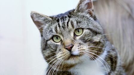 FIV positive, Buddy is also looking for a rural home or an enclosed garden. Picture: Wood Green, The