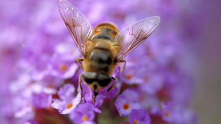 Close-up of a honeybee pollinating a flower