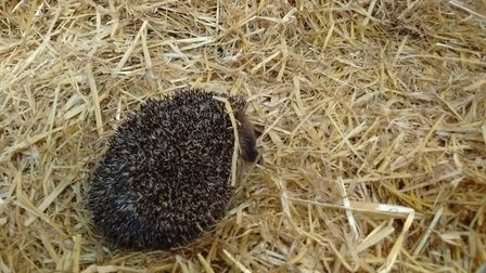 Alex the hedgehog is unable to curl after he was injured. Picture: @SWCCHedgehogs