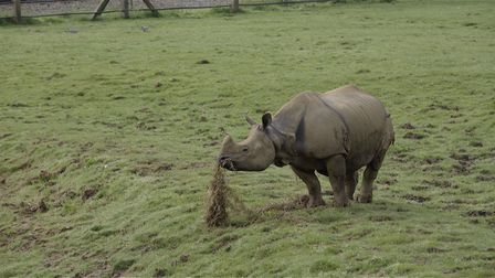 Behan, the 22-year-old one-horned rhino. Picture: ZSL.