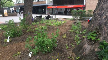 Incredible Edible in St Albans city centre.