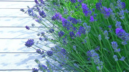 Lavender's good for softening the landscape, says Diarmuid (Picture credit: Thinkstock/PA)