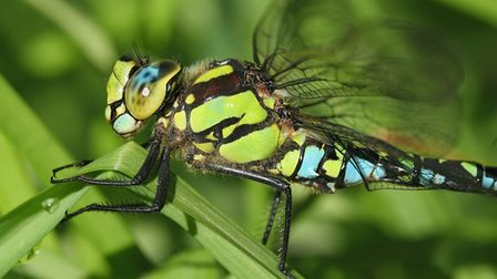 A Southern Hawker dragonfly (Aeshna cyanea), one of about 3,000 species worldwide. Picture by Steve