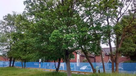 The now-felled trees in Ridgmont Road. Picture: Keith Webster