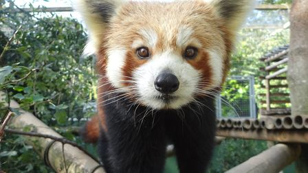 Red panda Ember, based at Shepreth Wildlife Park, is now recovering after having dentistry work for