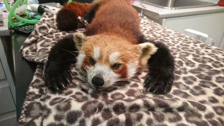 Red panda Ember coming round from the anaesthetic after her treatment. Picture: Shepreth Wildlife Pa
