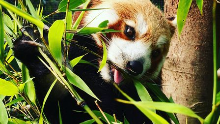Ember's tooth problem was stopping her from eating bamboo, her favourite meal. Picture: Shepreth Wil
