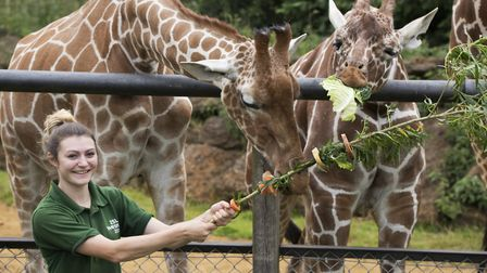 The giraffes with their veggie kebabs. (Picture: ZSL Whipsnade Zoo)
