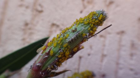 Hoverfly larvae feeding on aphids. Picture: Thinkstock/PA