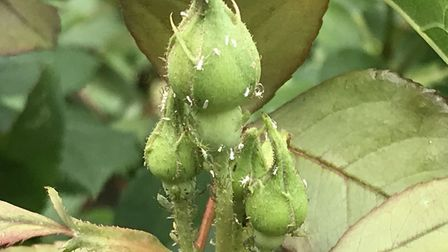 Whitefly on roses. Picture: Hannah Stephenson/PA