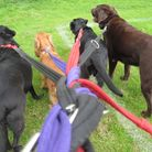 Professional dog walkers in St Albans could become subject to new regulations.