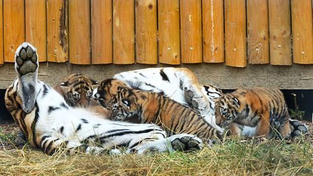 Mum Naya and her cubs at ZSL Whipsnade Zoo. Picture: ZSL
