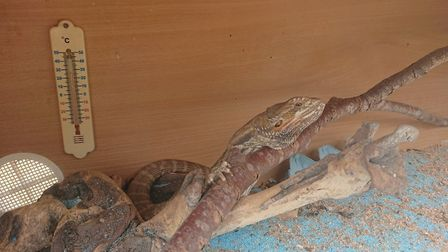 The bearded dragon in the car park in St Albans. Picture: RSPCA