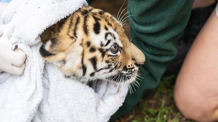 The tiger cubs receive a health check from vets at ZSL Whipsnade Zoo. Picture: Whipsnade Zoo