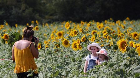 Sunflower fans can pick their own at The Pop Up Farm near Harpenden. Picture: Ian Pigott