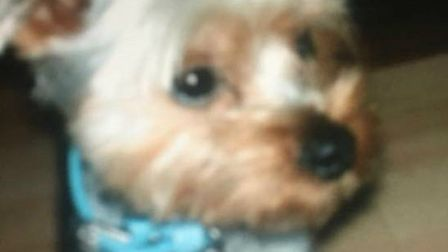 Yorkshire terrier Darby has gone missing from his home in Bassingbourn - he usually wears a black le
