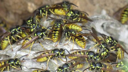 Wasps repairing their nest.