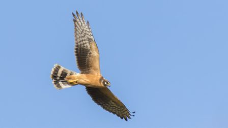 Pallid harrier (juvenile) flying over the Icknield Way, Royston. Picture: David Hatton