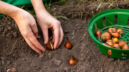 Planting bulbs has been Debbie's favourite job in the garden for as long as she can remember. Pictur