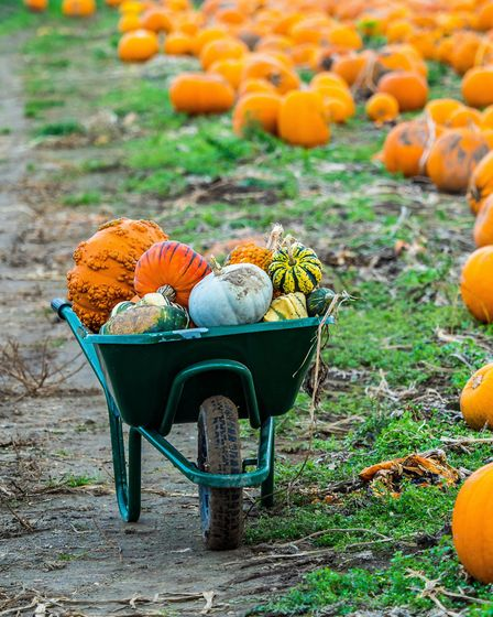 With Halloween around the corner, it's time to pick your pumpkin. Picture: Getty