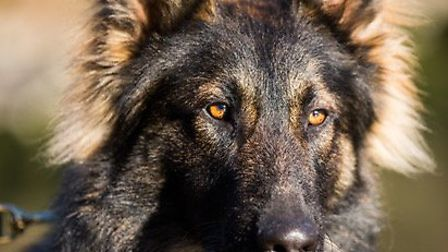 This is Harley, one of the dogs to star in the BCH Dog Unit charity calendar. Picture: CAMBS COPS