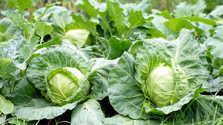 To protect cabbages from wind and frost in autumn, earth up soil around the base of each plant and r