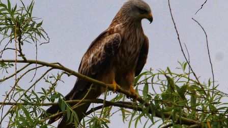 A Red kite (File photo). Picture: Gary Sanderson