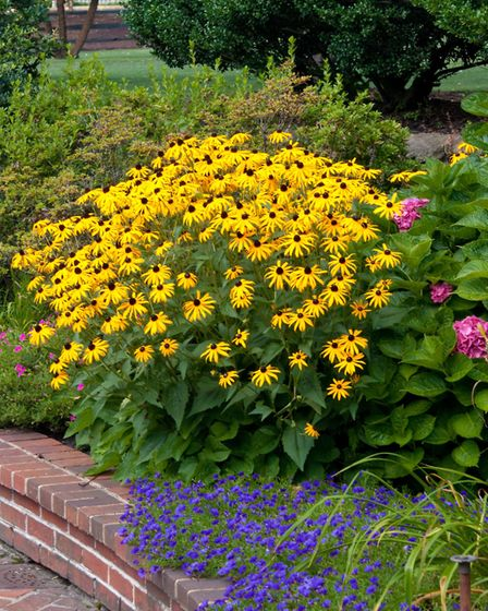 Overcrowded clumps of perennials, such as rudbeckia, should be split up and replanted with more spac