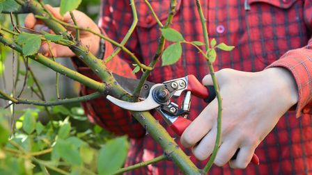 Debbie is adopting a new approach to pruning her roses, and will be pruning hard this month, rather