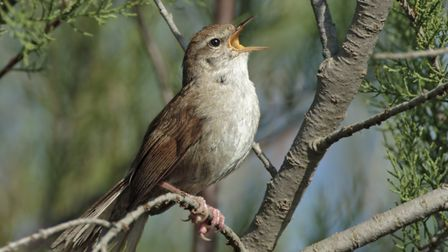 A Cettis warbler shouting out his song - Steven Round Bird Photography