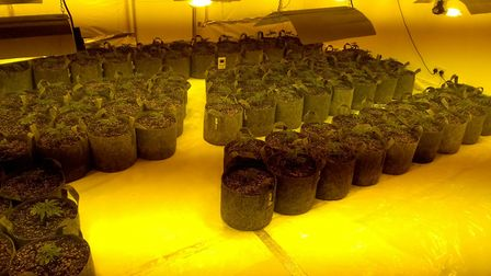 Police discovered a haul of cannabis following a raid at a property in Perry. Picture: CAMBS POLICE