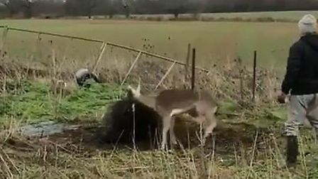 Nathan Sinfield helped to rescue a deer in Wheathampstead. Picture: Nathan Sinfield