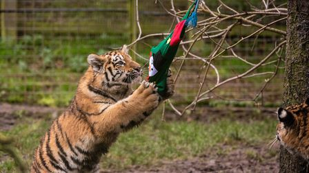 Amur tiger cubs Dmitri Makari and Czar get christmas stockings at ZSL Whipsnade Zoo. Picture: ZSL Wh