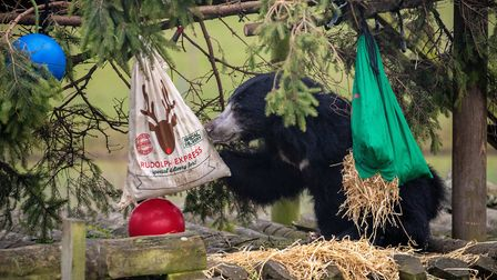 Columbo the sloth bear at ZSL Whipsnade Zoo. Picture: ZSL Whipsnade.