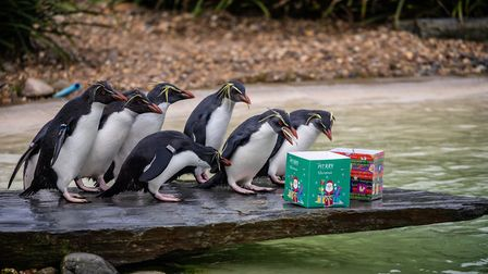 Rockhopper penguins at ZSL Whipsnade Zoo. Picture: ZSL Whipsnade.