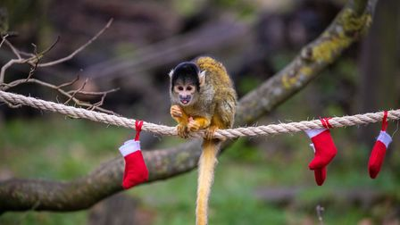 Squirrel monkeys at ZSL Whipsnade Zoo. Picture: ZSL Whipsnade.