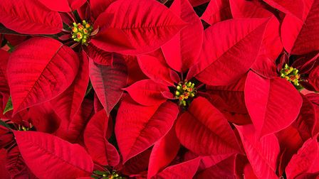 How much do you really know about the poinsettia? Picture: Thinkstock/PA