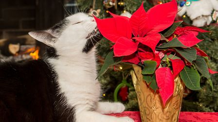 Contrary to popular belief, poinsettia leaves are only mildly toxic to cats and dogs. Picture: Think