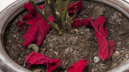 If you put your poinsettia in the wrong place it will lose its leaves. Picture: Thinkstock/PA
