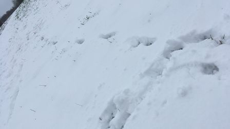 Footprints in the snow at the Jersey Farm Woodland Park. Picture: Archant