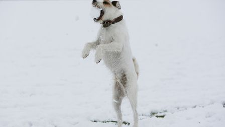 Patch the dog plays in the snow in Clarence Park, St Albans. Picture: DANNY LOO