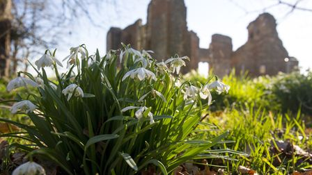 Snowdrops at Old Gorhambury House. Picture: DANNY LOO