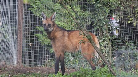Pacha the one year old maned wofl at Shepreth Wildlife Park. Picture: DANNY LOO