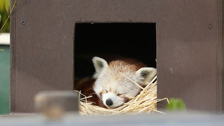 Ago the one year old red panda at Shepreth Wildlife Park. Picture: DANNY LOO