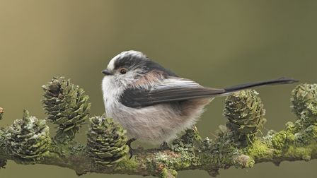 The long-tailed tit (Aegithalos caudatus - a woodland sprite!) - pictured by Steve Round.