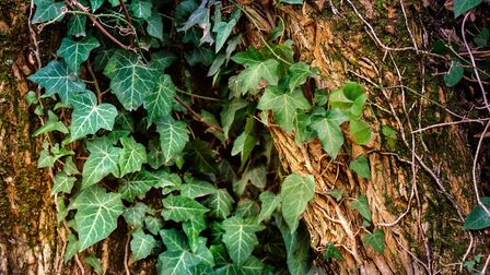 Turns out ivy doesn't really damage trees. Picture: iStock/PA