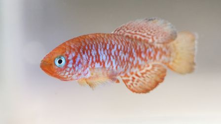 A species of killifish, named after Ian Sainthouse, a ZSL volunteer that discovered it in the wild.